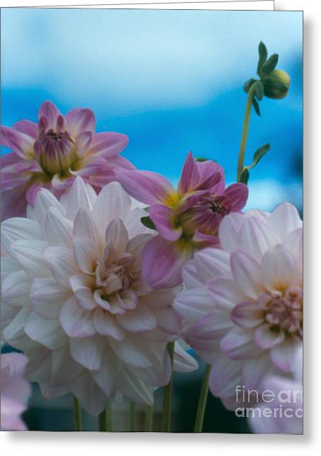 Pinks And Purple Petals Greeting Cards - Dahlias and Sky Greeting Card by Heather Kirk