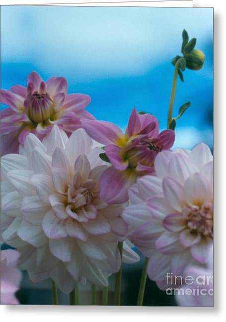 Pinks And Purple Petals Photographs Greeting Cards - Dahlias and Sky Greeting Card by Heather Kirk