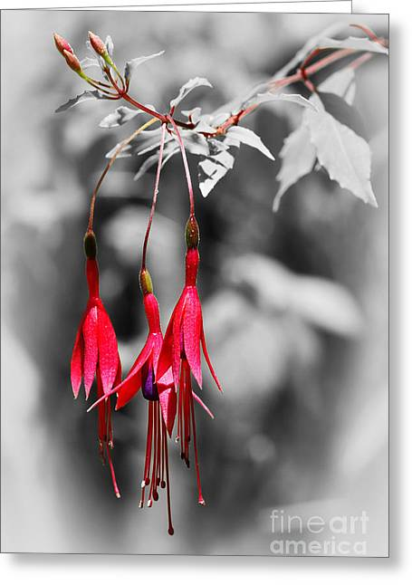 Pinks And Purple Petals Photographs Greeting Cards - Dainty Fuchsias by Kaye Menner  Greeting Card by Kaye Menner