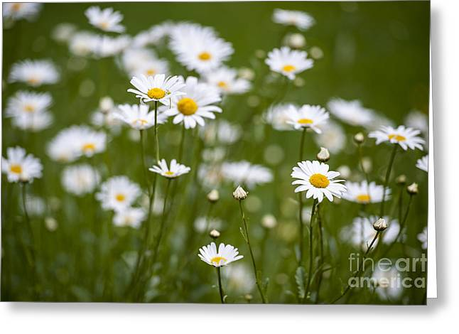 Daises Greeting Card by Donald Davis