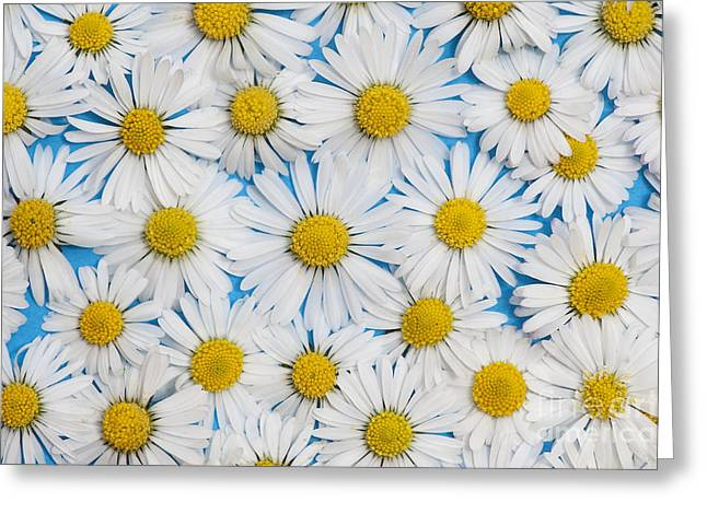 Bellis Greeting Cards - Daises Greeting Card by Tim Gainey