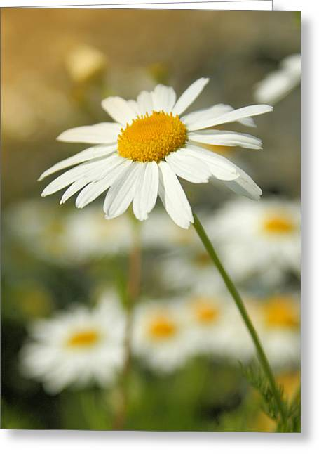 Daisy Greeting Cards - Daisies ... again - original Greeting Card by Variance Collections