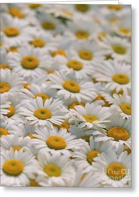 Compositae Greeting Cards - Daisies Greeting Card by David Nunuk
