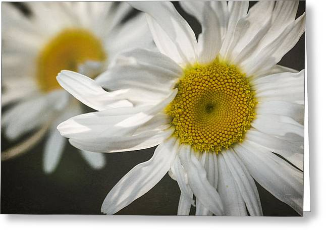 Fresh Green Greeting Cards - Daisies Greeting Card by Eduard Moldoveanu