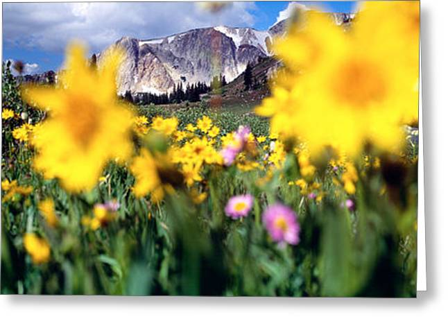 Blooms Greeting Cards - Daisies, Flowers, Field, Mountain Greeting Card by Panoramic Images