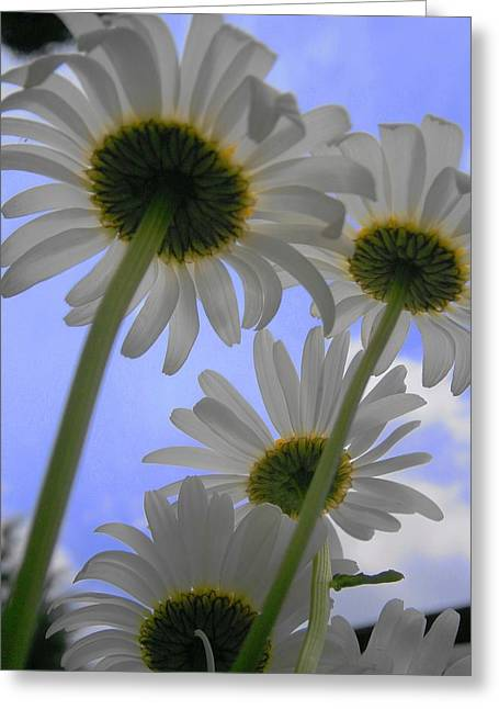 Daisies From Down Under Greeting Card by Marisa Horn
