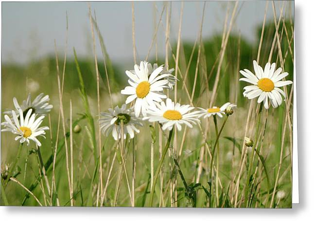Close Focus Floral Greeting Cards - Daisies In Field Greeting Card by A Rey