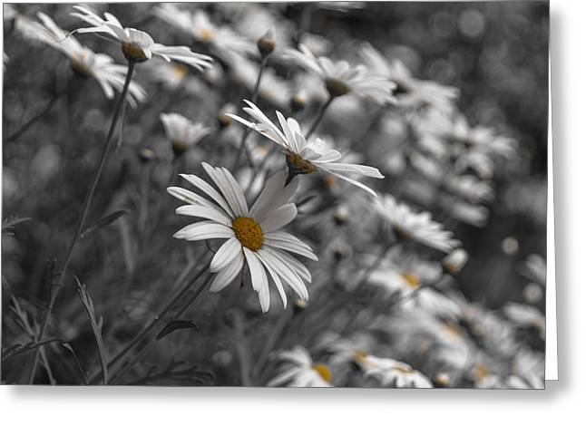 White Blossoms Greeting Cards - Daisies Greeting Card by Chris Fletcher