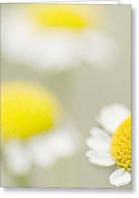 Daisy Greeting Cards - Daisies Greeting Card by Janet Burdon
