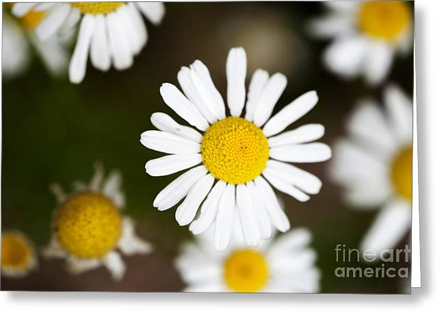 Botany Greeting Cards - Daisies Greeting Card by Juli Scalzi