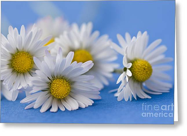 Daisies On Blue Greeting Card by Jan Bickerton