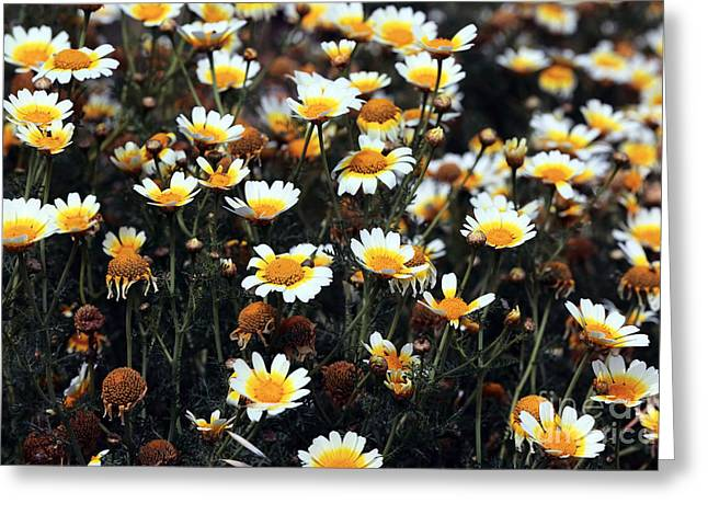 Delos Greeting Cards - Daisies on Delos Greeting Card by John Rizzuto