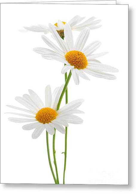 White Photographs Greeting Cards - Daisies on white background Greeting Card by Elena Elisseeva