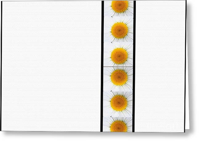 Daisy Tapestries - Textiles Greeting Cards - Daisies on White Greeting Card by Barbara Griffin