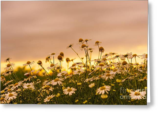 Svetlana Sewell Greeting Cards - Daisies over Sunset Greeting Card by Svetlana Sewell