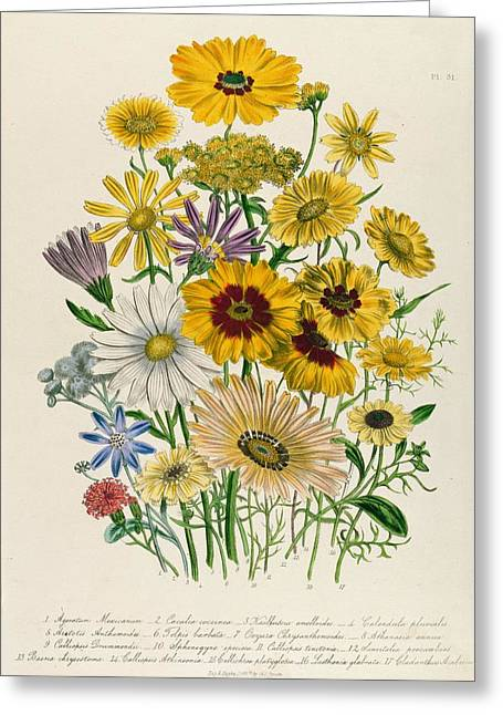 Aster Greeting Cards - Daisies, Plate 31 From The Ladies Flower Garden, Published 1842 Colour Litho Greeting Card by Jane Loudon