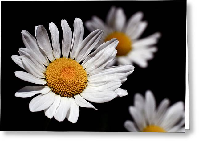 Floral Art Greeting Cards - Daisies Greeting Card by Rona Black
