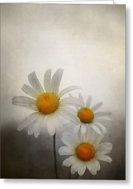 Botanic Digital Greeting Cards - Daisies Greeting Card by Svetlana Sewell