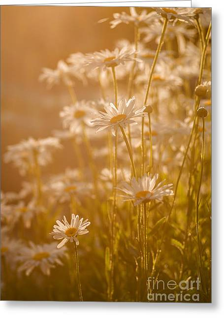 Flowers Direct Greeting Cards - Daisies under warm sunlight Greeting Card by Vishwanath Bhat