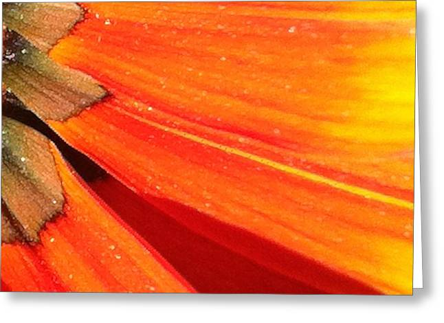 Focal Color Art Greeting Cards - Daisy 4-3 Greeting Card by Ann Pelaez