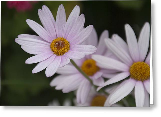 Flower Design Greeting Cards - Daisy Beauty Displayed Greeting Card by Cyndilu Miller