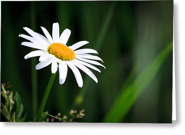 Uplifted Greeting Cards - Daisy - Bellis perennis Greeting Card by Bob Orsillo
