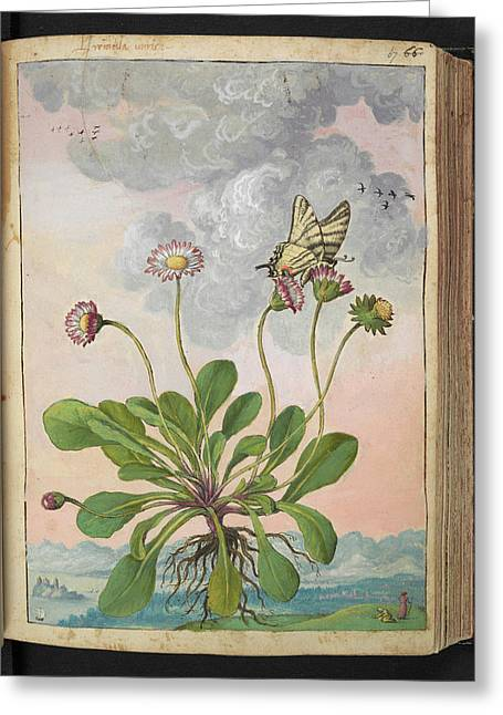 Daisy (bellis Perennis) Greeting Card by British Library