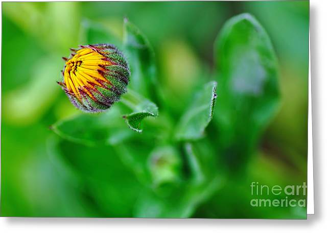Daisy Bud Greeting Cards - Daisy Bud ready to bloom Greeting Card by Kaye Menner