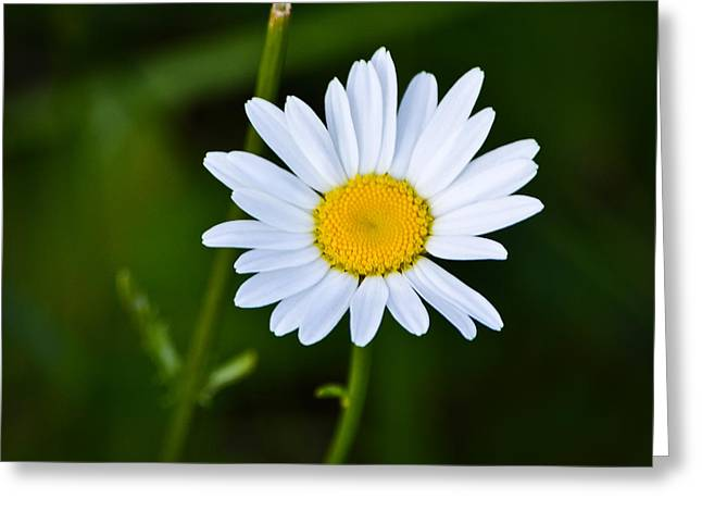 Mkz Greeting Cards - Daisy Daisy Greeting Card by Mary Zeman
