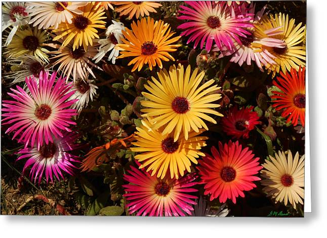 Cape Town Greeting Cards - Daisy Darlings 3 Greeting Card by Michael Durst