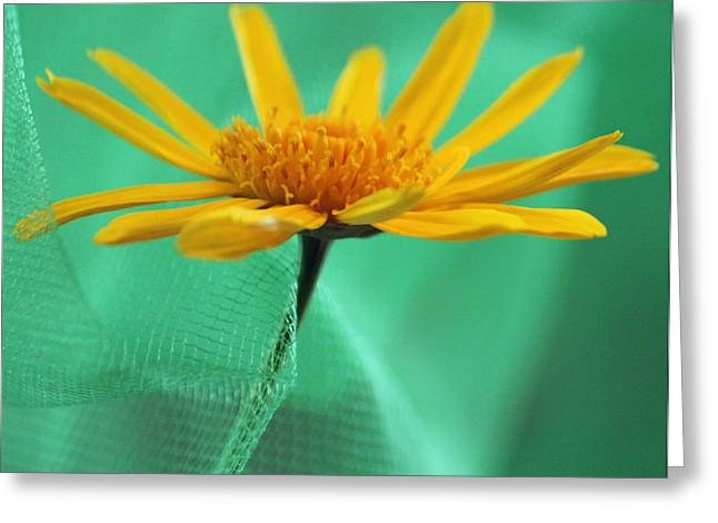 Close Focus Floral Greeting Cards - Daisy Delight Greeting Card by Suzanne Gaff