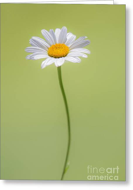 Daisy Greeting Cards - Daisy Greeting Card by Diane Diederich