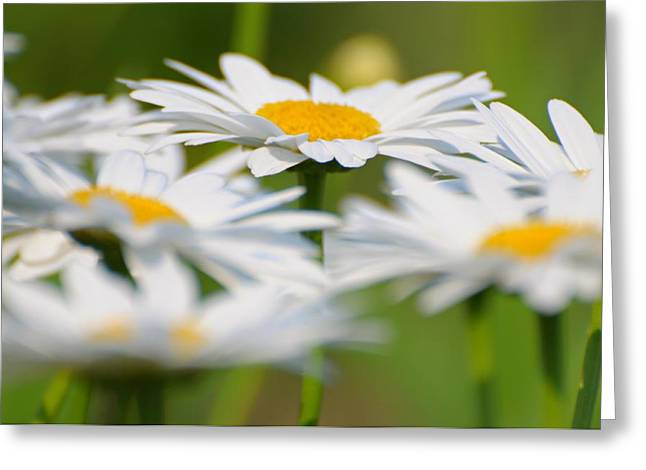 Breezy Greeting Cards - Daisy Dreams Greeting Card by Diana Angstadt
