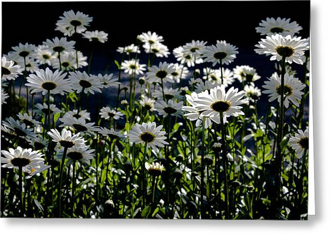Daisy Field Greeting Card by David Patterson