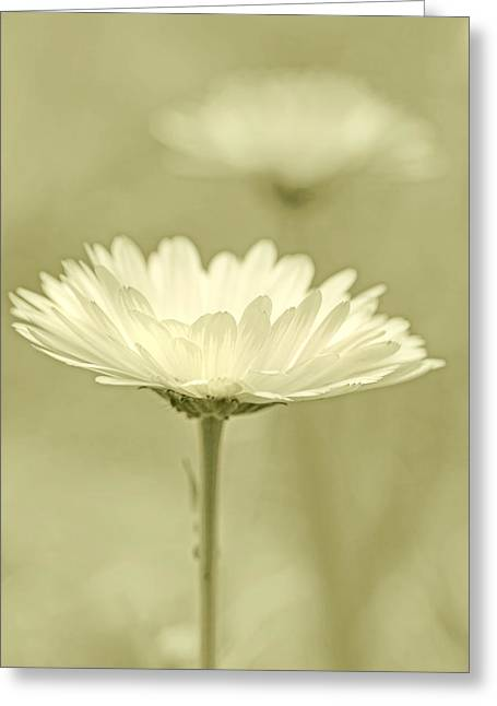 Olive Green Greeting Cards - Daisy Flower in Pose Olive Green Greeting Card by Jennie Marie Schell