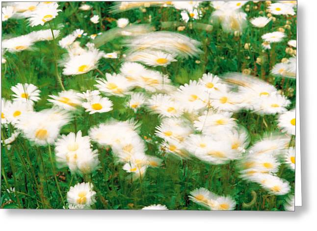 Flowered Greeting Cards - Daisy Flowers With Blur Motion Greeting Card by Panoramic Images