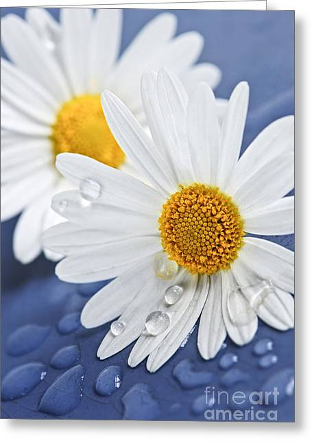 Wet Petals Greeting Cards - Daisy flowers with water drops Greeting Card by Elena Elisseeva