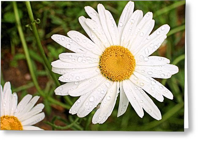 Daisy Freshness Greeting Card by Kristin Elmquist