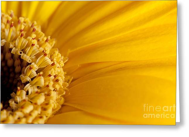 Barberton Daisy Greeting Cards - Daisy Gerbera Flower Greeting Card by Soyhan Erim