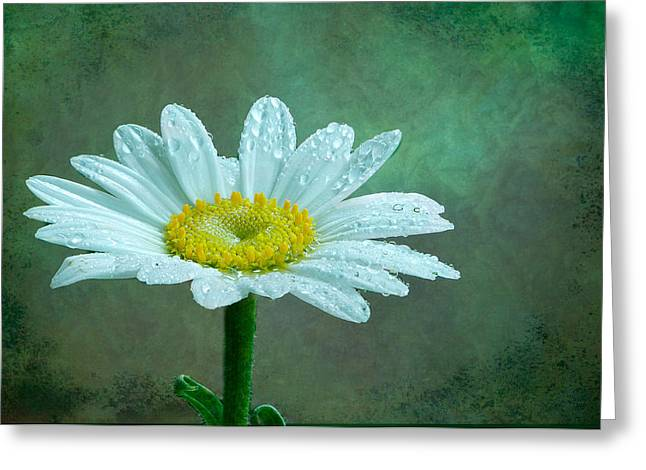 Daisy In The Rain Greeting Card by Randy Walton