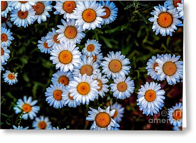 Abner Greeting Cards - Daisy Mae Greeting Card by Jon Burch Photography