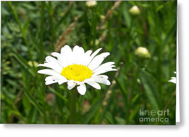 Kevin Croitz Greeting Cards - Daisy Mae Greeting Card by Kevin Croitz
