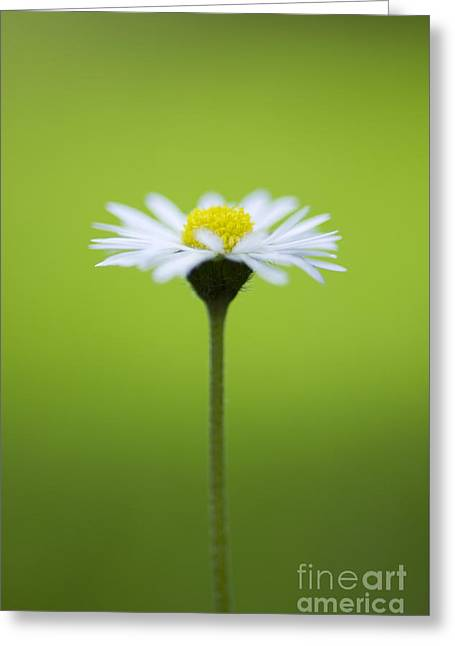 Daisy Greeting Card by Tim Gainey