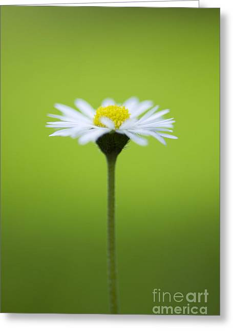 Bellis Greeting Cards - Daisy Greeting Card by Tim Gainey