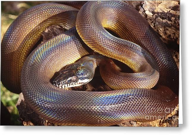Constricting Greeting Cards - Dalberts Python Greeting Card by Art Wolfe