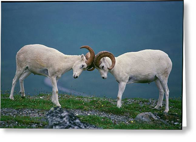 Dall Rams (ovis Dalli Greeting Card by Howie Garber