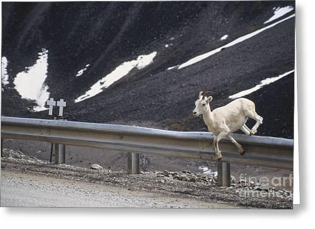 Fragmentation Greeting Cards - Dall Sheep Jumps Guardrail Greeting Card by Mark Newman