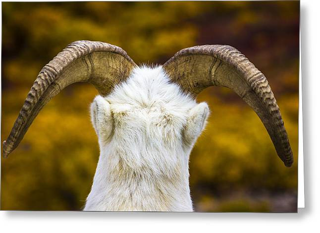 Autumn Photographs Greeting Cards - Dall Sheep Greeting Card by Kyle Lavey