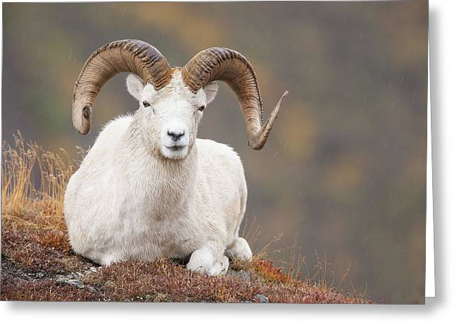 Ledge Greeting Cards - Dall Sheep Ram Greeting Card by Tim Grams