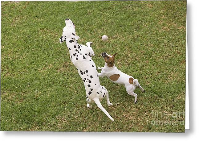 Two Dalmatian Greeting Cards - Dalmatian & Jack Russell Greeting Card by Jean-Michel Labat